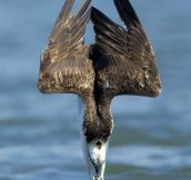 An Osprey Diving For Food