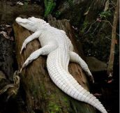 Amazing Albino Alligator