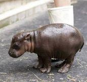 Baby Pygmy Hippopotamus