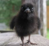This Is What a Baby Raven Looks Like