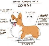 Corgi Anatomy