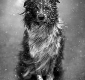 Spectacular Photograph Of an Australian Shepard