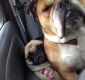 That's How Pugs Get Wrinkled
