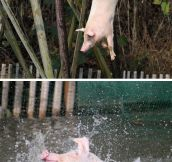 Pigs Are Adorable When They're Having Fun