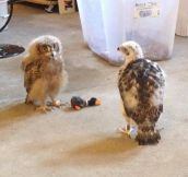 Baby goshawk has a play-date with a baby owl.
