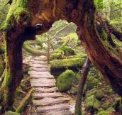 A Wooden Path In Yakushima, Japan
