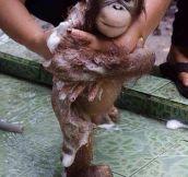 Bathing A Baby Orangutan