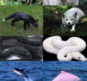 Melanism Vs. Albinism