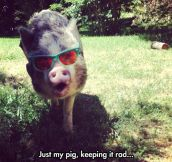Insanely Awesome Pig