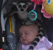 Lemur Tries To Break Out Of Wildlife Park By Stowing Away In Baby's Car Seat