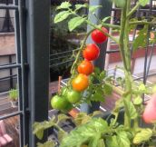 The Simple Satisfaction Of Growing Tomatoes
