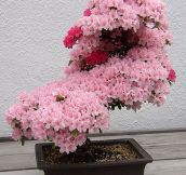 A Cherry Tree Bonsai