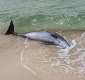 Rescuing A Dolphin