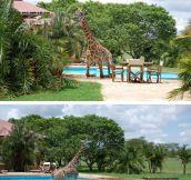 Monduli The Giraffe Goes For A Swim