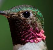 Close Up Look At A Hummingbird's Feathers
