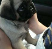 Probably The Cutest Baby Pug In Existence