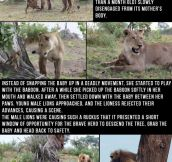 Baby Baboon Was Saved And Protected By This Lioness After She Realized What She Had Done