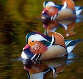 Mandarin Duck On A River In Dublin