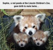 Red Panda Mom And Children