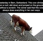 This Cow Is Not Worried Anymore