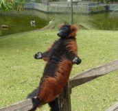 Zen Lemur