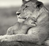 Lioness And Cub