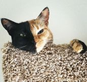 Meet Venus, The Mysterious Two-Faced Cat…(16 Pics)