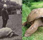 Jonathan The Turtle In Year 1900 And Today. Wait Till You Find Out His Real Age.