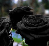 Gorgeous Black Rose