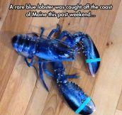 The Rare Blue Lobster