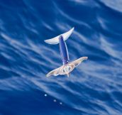 A Flying Squid, These Things Exist And They Are Glorious