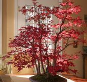 Maple Bonsai In Autumn
