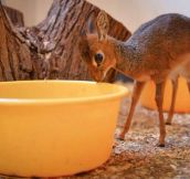 A Mythical Creature Called Dik-Dik