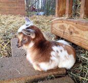 Baby Goat Resting