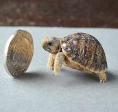 The Smallest Tortoise