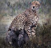 Cheetah Nursing Her Cubs In The Rain