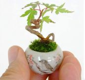 A Tiny Maple Bonsai