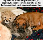 Cheetahs And Dogs