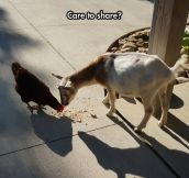 Chicken And Goat Being Bros