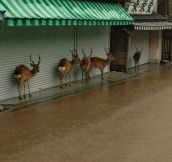 Deer Don't Want To Get Wet