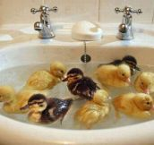 Ducklings' First Bath