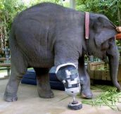 An Elephant With A Prosthetic Leg