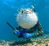 Puffer Fish Photobomb