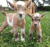 Tiny Adorable Baby Goats