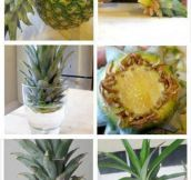 Re-Growing A Pineapple