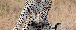 He's Got Them Moves Like Jaguar