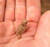 A Baby Horned Lizard