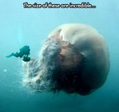 Monster Jellyfish And Diver