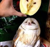 An Owl In An Apple Over An Owl