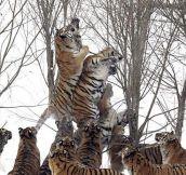 Eleven Tigers Vs. One Bird
